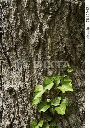 コナラの幹と木蔦 78199424