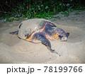 ウミガメの産卵 78199766