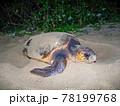 ウミガメの産卵 78199768