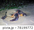 ウミガメの産卵 78199772