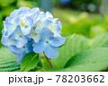 淡いブルーの紫陽花 横写真 78203662