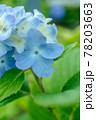淡いブルーの紫陽花 縦写真 78203663