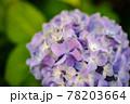 かわいい色味のアジサイ 78203664