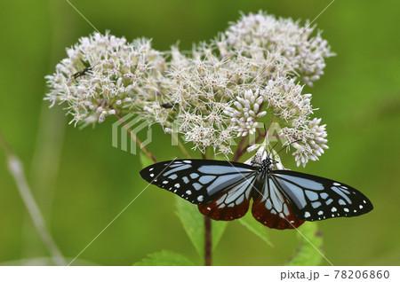 高原の白い花で吸蜜する蝶(アサギマダラ) 78206860