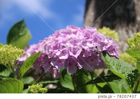 5月中旬の青空の下に咲く赤紫色のアジサイ 78207437