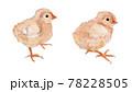 生まれたばかりのひよこ(生後3日〜5日)の水彩イラスト 78228505
