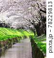弘前公園のさくらと花筏 78229813