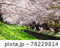 弘前公園のさくらと花筏 78229814