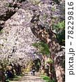 弘前公園のさくらと花筏 78229816