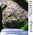 弘前公園のさくらと花筏 78229878