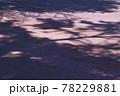 弘前公園のさくらと花筏 78229881