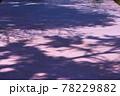 弘前公園のさくらと花筏 78229882