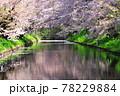 弘前公園のさくらと花筏 78229884