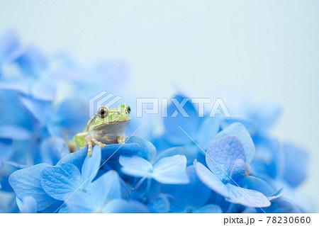 紫陽花と雨蛙 78230660