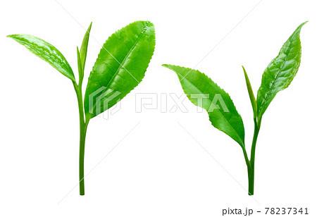 茶葉 生茶葉 お茶の葉 イラスト リアル 3 78237341