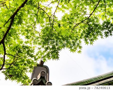 初夏の清涼な深山幽谷の景色 新緑のモミジ 78240613