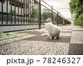 うしろを見る白猫 78246327