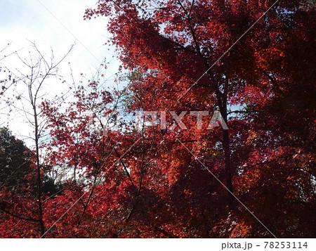 真っ赤な紅葉と薄曇りの空・むろいけ園地 78253114