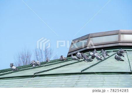【カワラバト・ドバト】建物の上で休憩する鳩 78254285