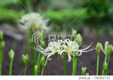 初秋の夏見緑地に咲いた白花曼珠沙華 78262712
