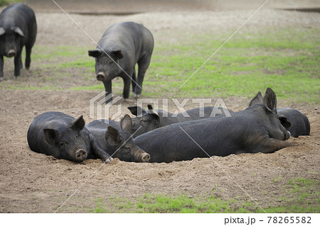 黒豚 78265582