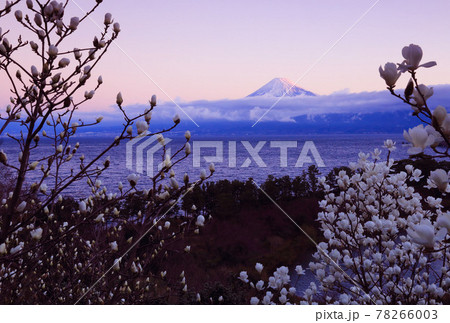 海越しの富士 (白モクレンの咲く頃) 78266003