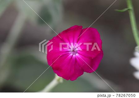 春の公園に咲く酔仙翁(フランネル草)の濃いピンク色の花 78267050