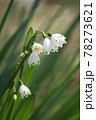 花芯が見えるスノーフレーク 78273621