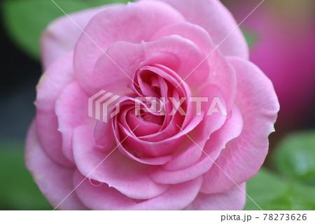 しずくのついたピンクのバラのアップ 78273626