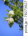 青空とハリエンジュ 78273627