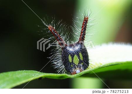 クロコノマチョウの幼虫 78275213