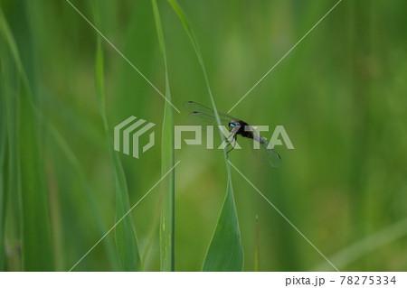 草につかまり、こちらを見るハラビロトンボ 78275334
