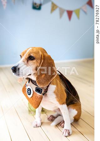 子供部屋にて首にカメラ型のポシェットをかけてお座りするビーグル犬 78276927