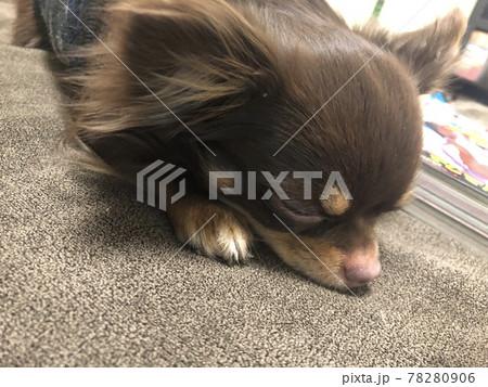 寝てるチワワ Chihuahua 78280906