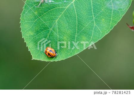 アジサイの葉で羽化の準備をするてんとう虫 78281425