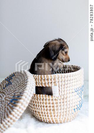 仔犬 カニンヘンダックスフンド 78283807