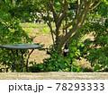 庭先の木に留まった巣立ちしたばかりのカササギ、天然記念物のカササギの幼鳥、 78293333