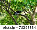 庭先の木に留まった巣立ちしたばかりのカササギ、天然記念物のカササギの幼鳥、 78293334