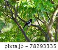 庭先の木に留まった巣立ちしたばかりのカササギ、天然記念物のカササギの幼鳥、 78293335