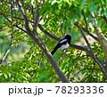 庭先の木に留まった巣立ちしたばかりのカササギ、天然記念物のカササギの幼鳥、 78293336