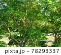庭先の木に留まった巣立ちしたばかりのカササギ、天然記念物のカササギの幼鳥、 78293337