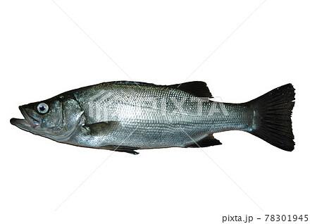 ウキフカセ釣りで釣れたヒラスズキ 78301945