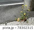 道端で見つけた黄色い花が咲いている雑草 78302315