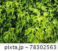 緑がキレイな背景素材 78302563