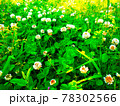 緑がキレイなシロツメクサ 野草 原っぱ 散歩 78302566