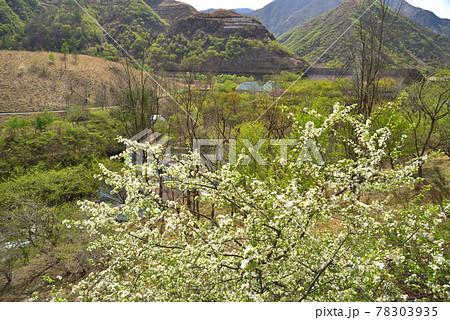 ズミの花の咲く新緑の頃の足尾 銅親水公園 78303935