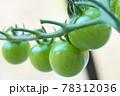 たわわに実るミニトマト 78312036