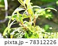 清流の綺麗な植物 78312226