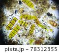 Microalgae under a microscope, sample taken from moss 78312355