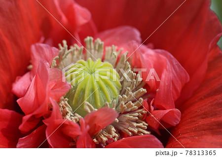 大輪の真っ赤な、ケシの花 78313365